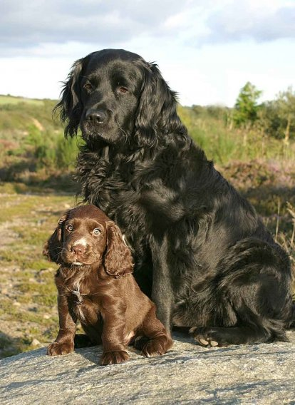 Sussex Spaniel Welpen