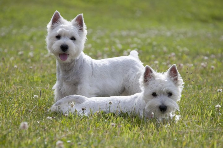 West Highland White Terrier - bild