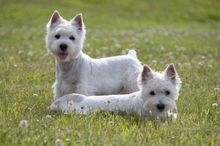 West Highland White Terrier - bild