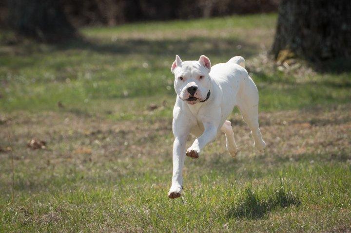 Dogo Argentino - bild