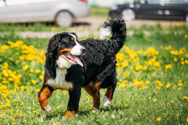 Berner Sennenhund - bild