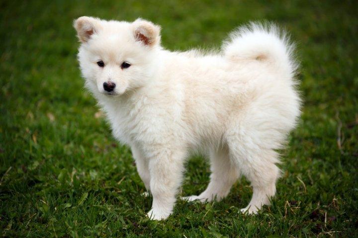 Finnischer Lapphund Welpen