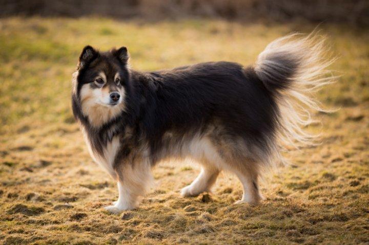 Finnischer Lapphund - bild