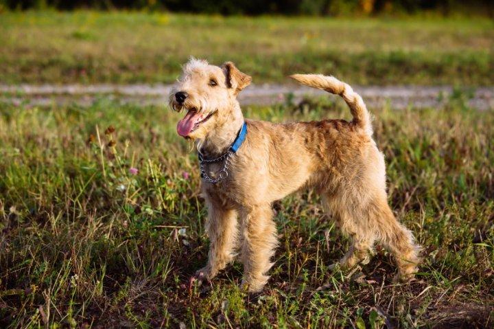 Lakeland Terrier - bild