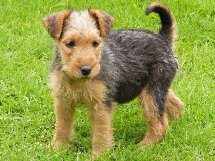 Lakeland Terrier Welpen