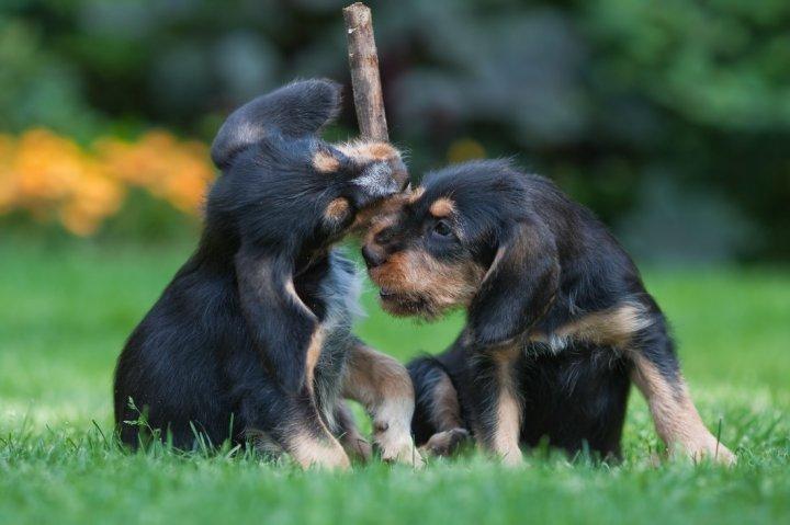 Otterhund Welpen