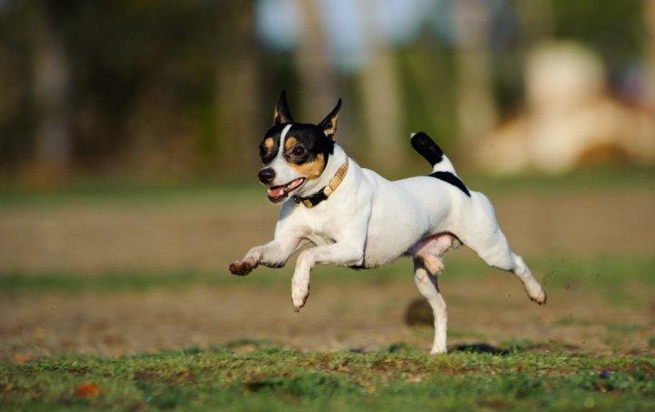 American Toy Terrier - bild