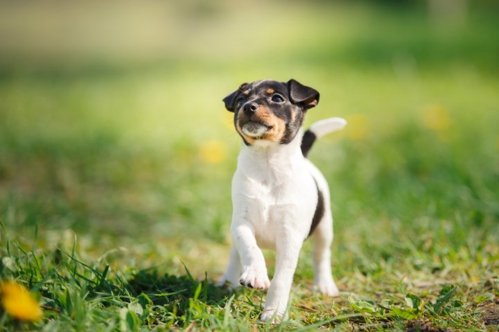 American Toy Terrier Welpen