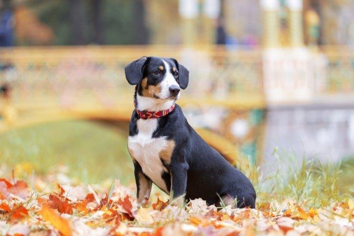 Entlebucher Sennenhund - bild
