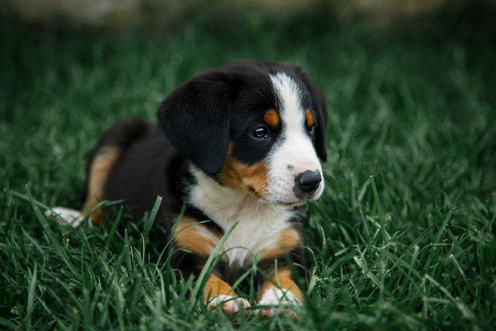 Entlebucher Sennenhund Hunderasse Mit Bild Info Temperament