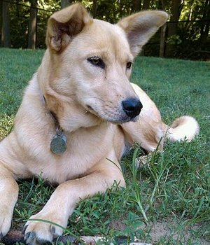 Carolina Dog - bild