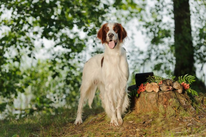 Irish Red and White Setter - bild
