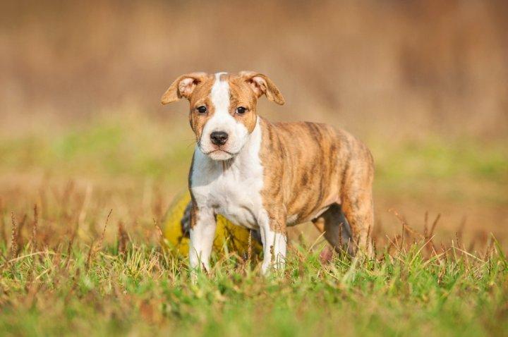 American Staffordshire Terrier Welpen