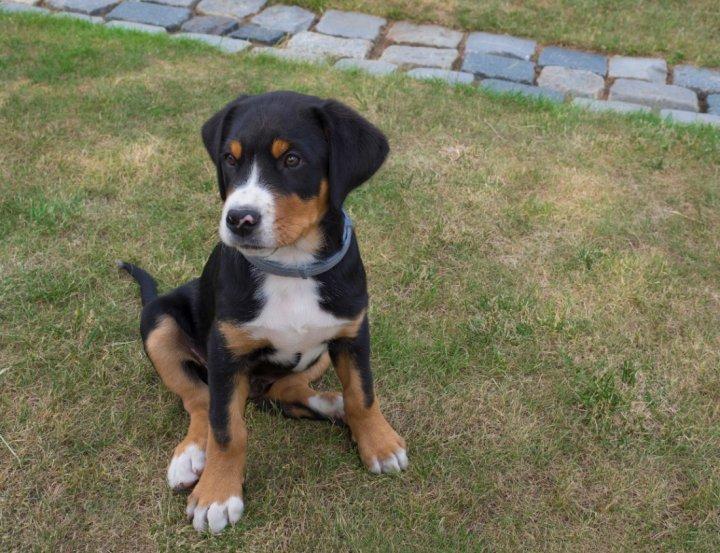 Grosser Schweizer Sennenhund Welpen