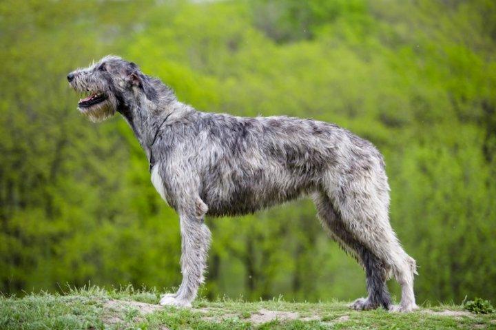 Irischer Wolfshund - bild