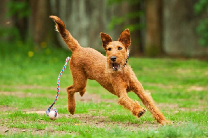 Irish Terrier - bild