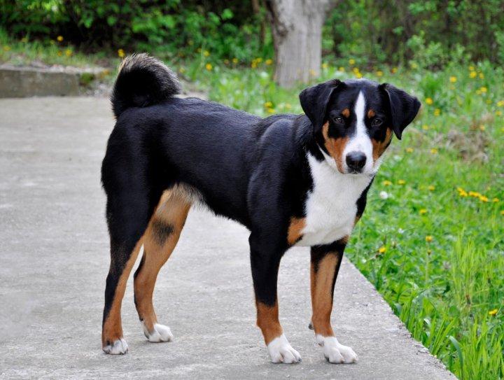 Appenzeller Sennenhund Hunderasse Mit Bild Info Temperament