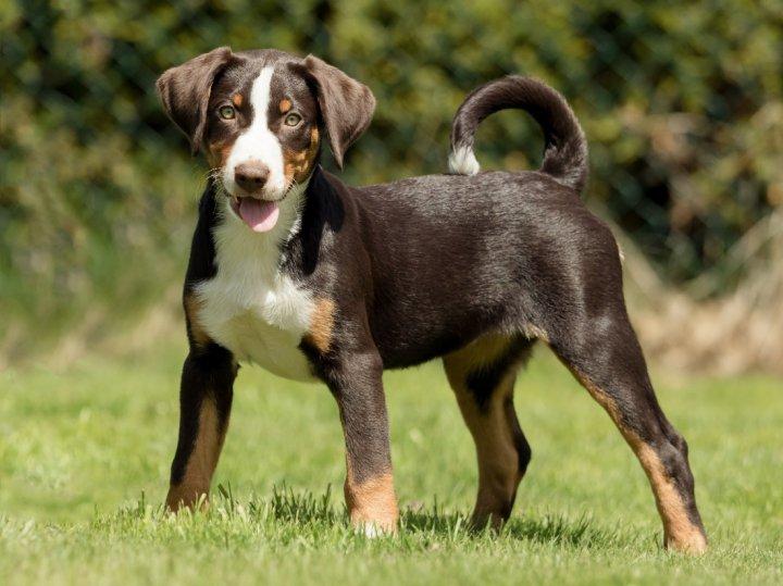 Appenzeller Sennenhund Hunderasse Mit Bild Info Temperament Charakteristiken Und Fakten