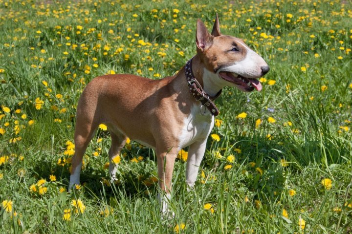 Miniature Bull Terrier - bild