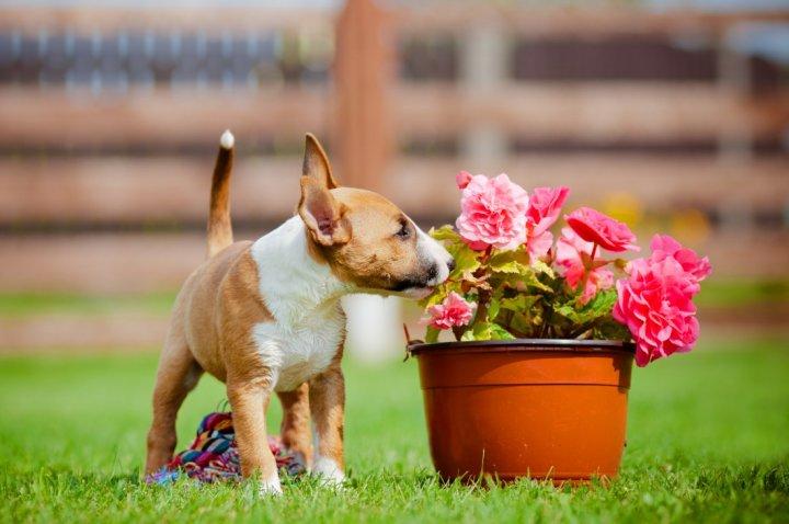 Miniature Bull Terrier Welpen
