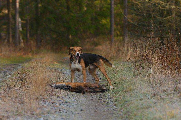 Finnischer Laufhund - bild