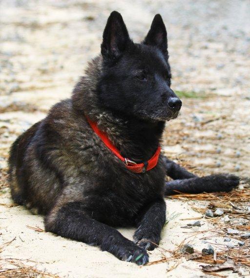 Norwegischer Elchhund schwarz - bild