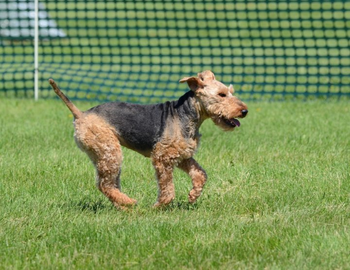 Welsh Terrier - bild