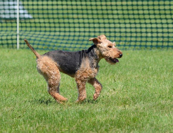 Welsh Terrier - bild