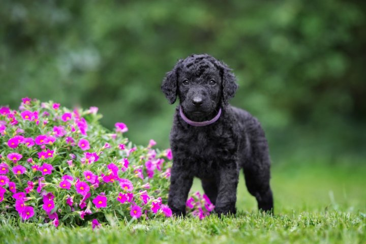 Curly Coated Retriever Welpen