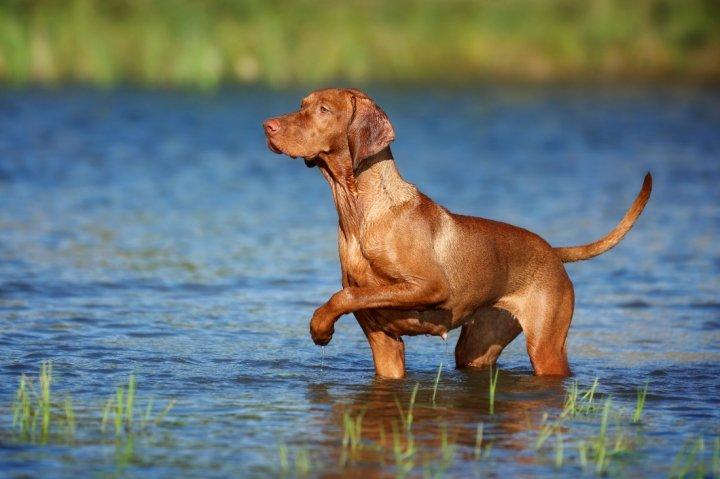 Kurzhaariger Ungarischer Vorstehhund - bild