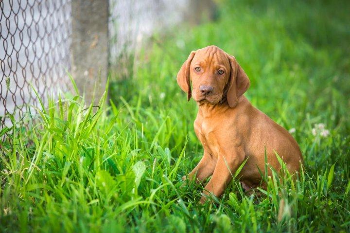 Kurzhaariger Ungarischer Vorstehhund Welpen