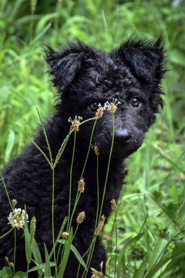 Kroatischer Schäferhund Welpen