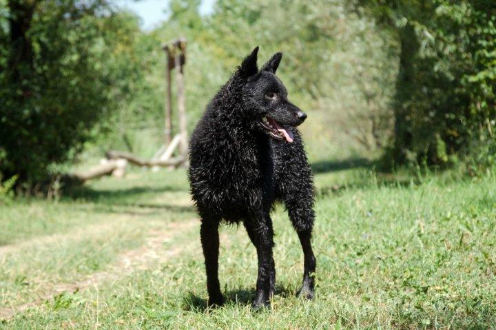 Kroatischer Schäferhund - bild
