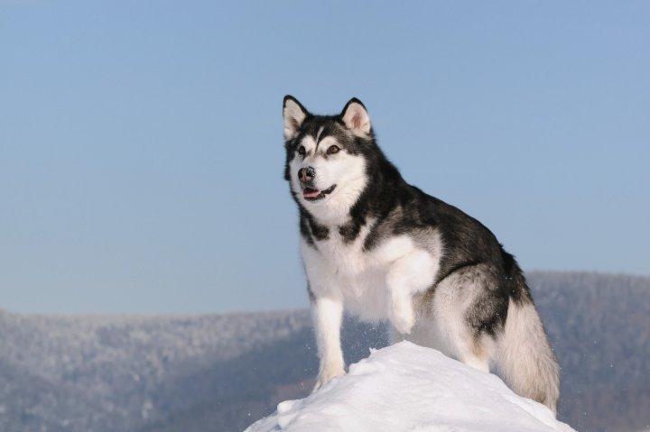 Alaskan Malamute - bild