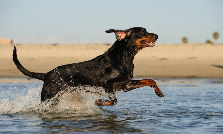 Black and Tan Coonhound - bild
