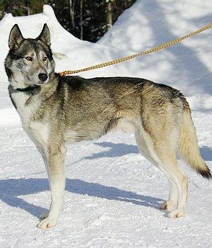 Seppala Siberian Sleddog - bild
