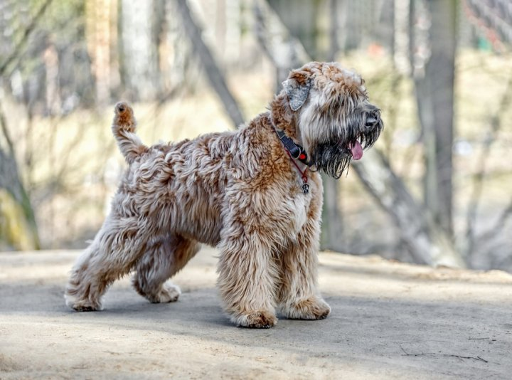 Irish Soft Coated Wheaten Terrier - bild