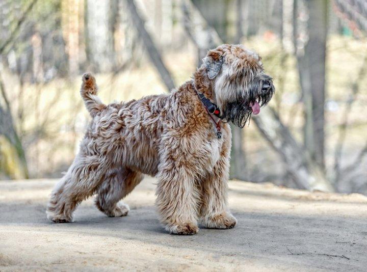 Irish Soft Coated Wheaten Terrier - bild