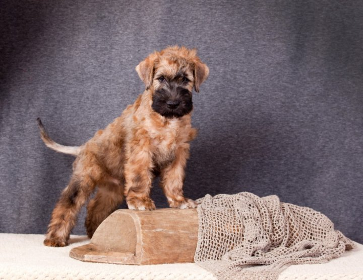 Irish Soft Coated Wheaten Terrier Welpen