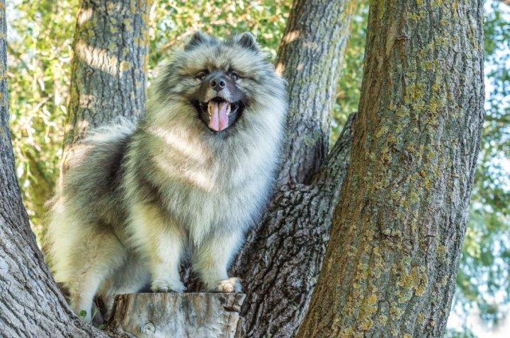 Wolfsspitz - bild