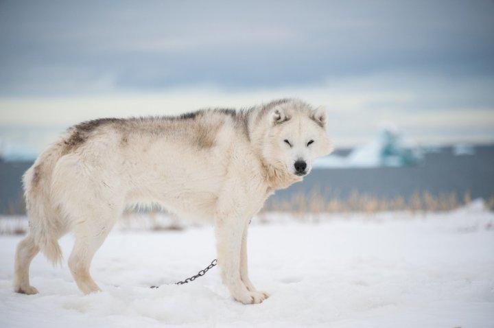 Grönlandhund - bild