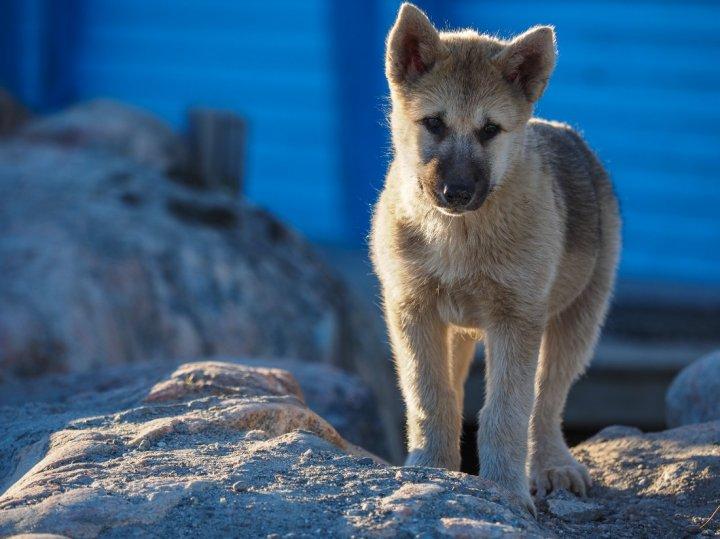 Grönlandhund Welpen