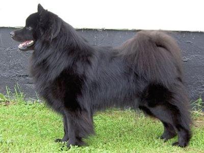 Schwedischer Lapphund - bild