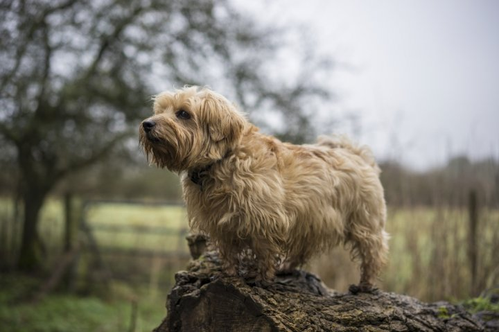 Norfolk Terrier - bild