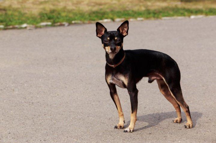 English Toy Terrier - bild
