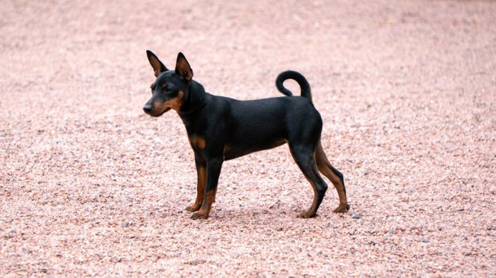 English Toy Terrier Welpen