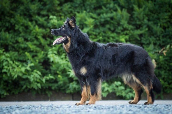 Chodský pes - bild