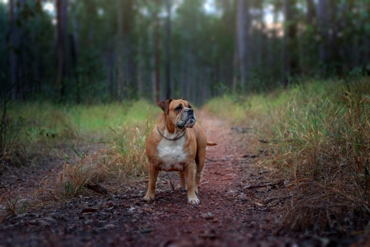 Australian Bulldog - bild