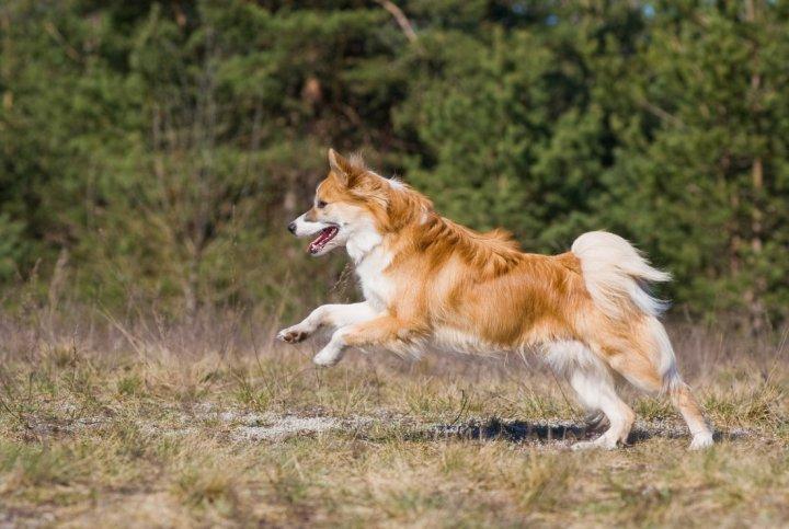 Islandhund - bild