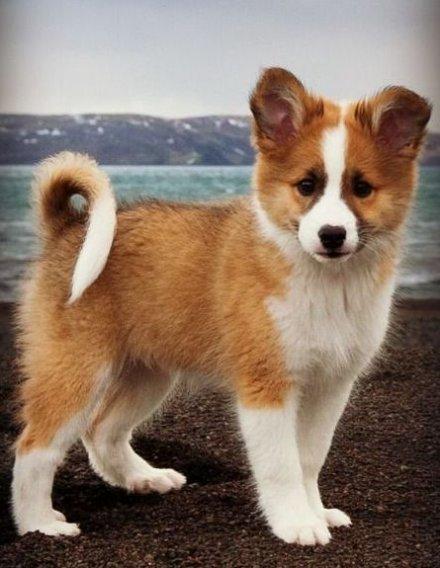 Islandhund Welpen